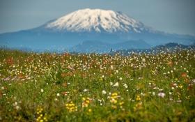 Картинка поле, снег, цветы, природа, гора, вершина