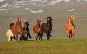 Картинка кони, лошади, Исландия, Iceland