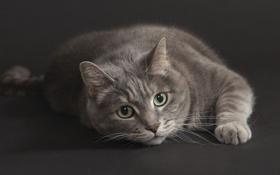 Картинка кошка, взгляд, серая, смотрит, серый фон