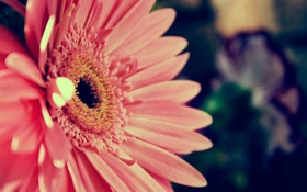 Обои цветок, макро, растение, лепестки