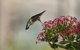 Обои цветы, природа, нектар, птица, еда, колибри