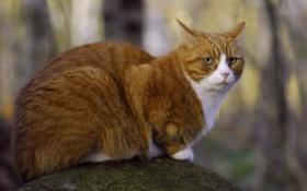 Обои взгляд, камень, мох, Кот, рыжий