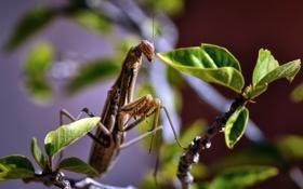 Картинка природа, жук, Mantis religiosa