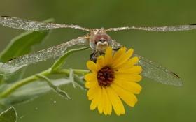 Обои цветок, макро, стрекоза, крылышки