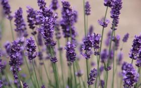 Обои фиолетовый, цветы, природа, flowers