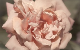 Картинка роза, цветок, розовая, лепестки