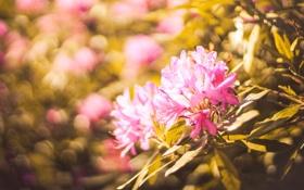 Обои листья, цветы, лепестки, розовые, боке