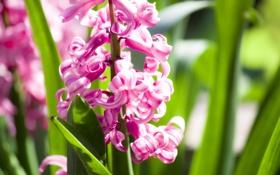 Обои лепестки, макро, цветки, гиацинт, flowers, цветы