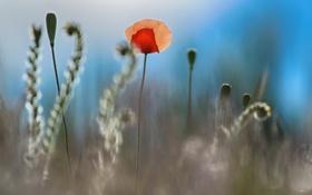 Картинка лето, цветы, маки, лен