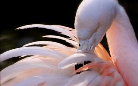Обои розовый, птица, перья, клюв, фламинго