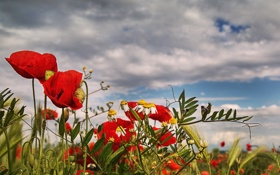 Картинка поле, небо, трава, облака, мак, ромашка, луг