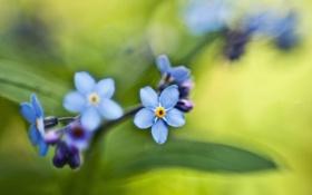 Картинка весна, голубые, зелень, цвет, листья, букет, незабудки