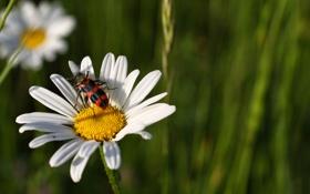 Картинка цветок, жук, ромашка