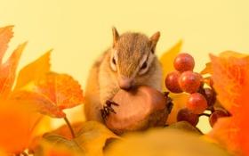 Обои осень, листья, ягоды, веточка, орех, бурундук, зимний припас