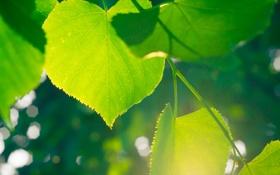 Картинка зелень, листья, солнце, макро, свет, зеленый, блики