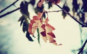 Картинка осень, листья, макро, дуб