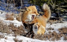 Обои зима, лисы, природа
