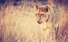 Картинка поле, трава, глаза, взгляд, природа, поза, Лев