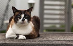 Картинка кошка, глаза, кот, взгляд, котэ