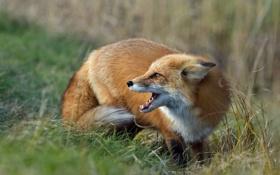 Обои лиса, профиль, лисица, трава