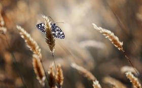 Картинка лето, макро, природа, бабочка, колоски, насекомое
