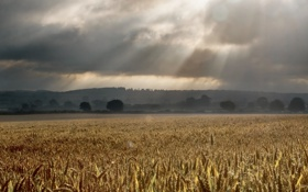 Картинка поле, пейзаж, дождь, колосья