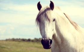 Обои белый, лошадь, конь