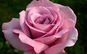Картинка цветок, макро, Роза