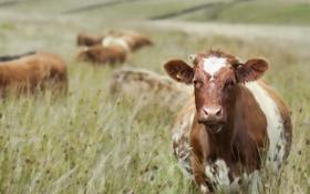 Картинка поле, лето, коровы