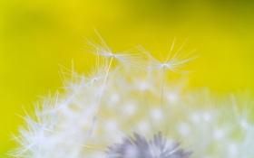 Обои цветок, природа, одуванчик, былинка