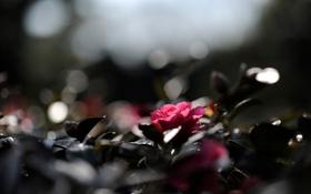 Обои цветок, листья, макро, свет, блики, розовый, растение