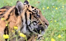 Обои трава, морда, цветы, тигр, отдых, хищник