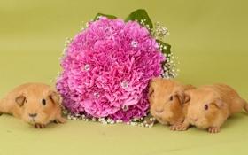 Обои цветы, букет, морские свинки
