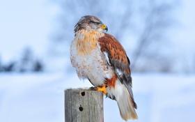 Картинка природа, птица, Ferruginous hawk