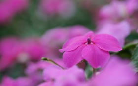 Картинка цветок, макро, цветы, розовый