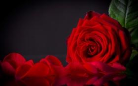 Картинка цветок, роза, лепестки, красная