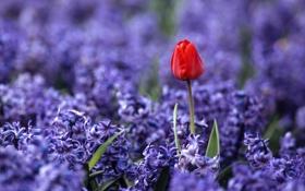 Обои поле, макро, цветы, красный, природа, поляна, тюльпан