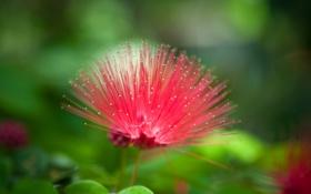 Обои розовый, растение, пух, ленкоранка
