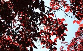 Картинка листья, ветки, дерево, красные