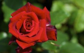 Картинка листья, макро, роза, красная