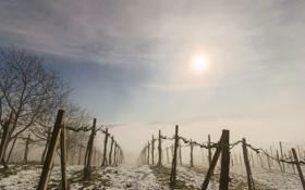 Картинка туман, утро, виноградник