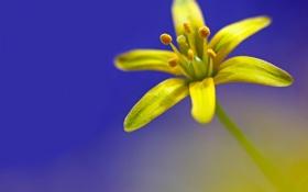 Обои Гусиный лук желтый, Гагея жёлтая, лепестки, макро