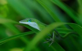 Картинка трава, макро, ящерица, зеленая