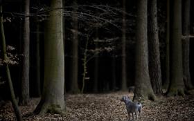 Обои осень, лес, ветки, мрак, собака, серая