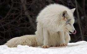 Обои Canada, Arctic Fox, Montebello, Parc Omega