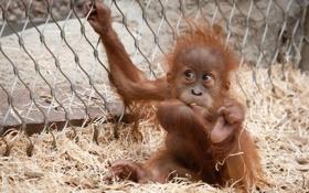 Картинка обезьяна, детеныш, примат, орангутан