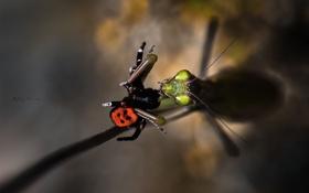 Обои макро, насекомые, еда, паук, богомол, добыча