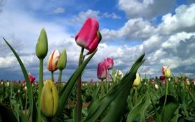 Обои облака, поле, тюльпаны, небо