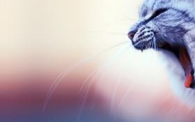 Обои кот, зевает, пасть, усы