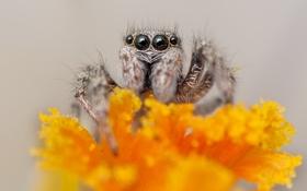 Обои макро, паук, насекомое, крокус